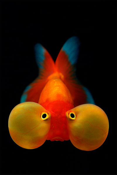 Bubbled Eyed Goldfish