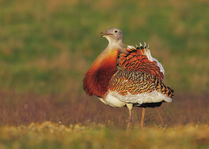 Photo Birds: The great bustard (bundle x 5 pieces) - top quality approved by www.postcardsmarket.com specialists