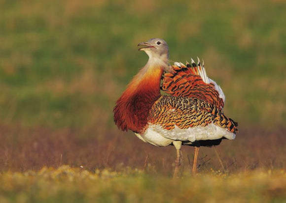 Photo Birds: The great bustard - top quality approved by www.postcardsmarket.com specialists
