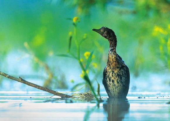 Photo Birds: The pygmy cormorant - top quality approved by www.postcardsmarket.com specialists