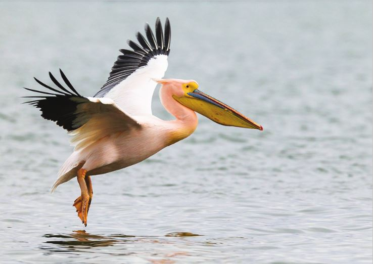 Photo Birds: The great white pelican (bundle x 5 pieces) - top quality approved by www.postcardsmarket.com specialists