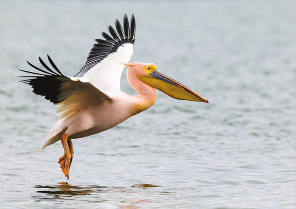 Photo Birds: The great white pelican - top quality approved by www.postcardsmarket.com specialists