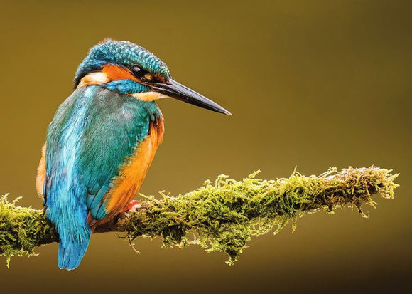 Photo Birds: The common kingfisher - top quality approved by www.postcardsmarket.com specialists
