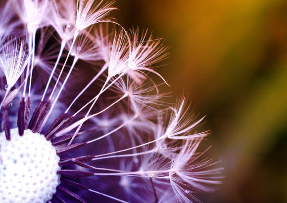 Photo Flower: Nature beauty in a dandelion - Postcards Market