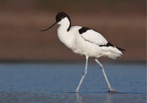 Photo Birds: The pied avocet - top quality approved by www.postcardsmarket.com specialists