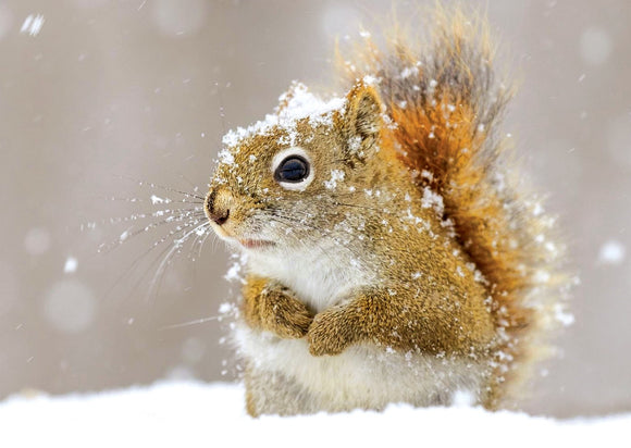Photo: Snowy Squirrel (bundle x 5 pieces) - top quality approved by www.postcardsmarket.com specialists