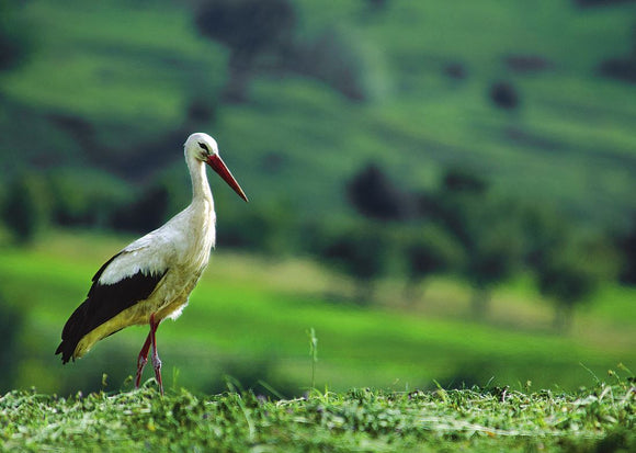 Photo Birds: The white stork - top quality approved by www.postcardsmarket.com specialists