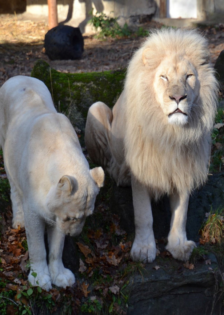 Photo: White Lion Family - top quality approved by www.postcardsmarket.com specialists