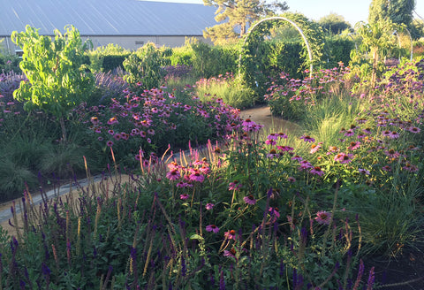 Sunset magazine test gardens sonoma purple flowers lavender