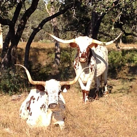 An Evening with Longhorns