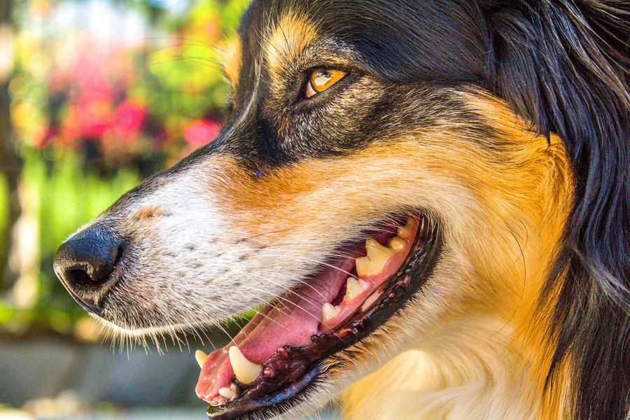 Dog Teeth: Understanding Your Dog's Teeth And Providing Care