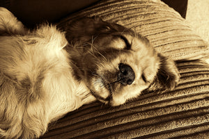 Dog Sleeping Habits: How Much Do Dogs Sleep?