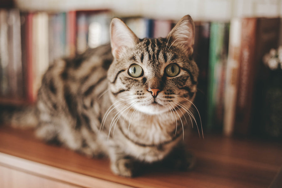 How Smart Are Cats? Instinct and Intelligence In Cats