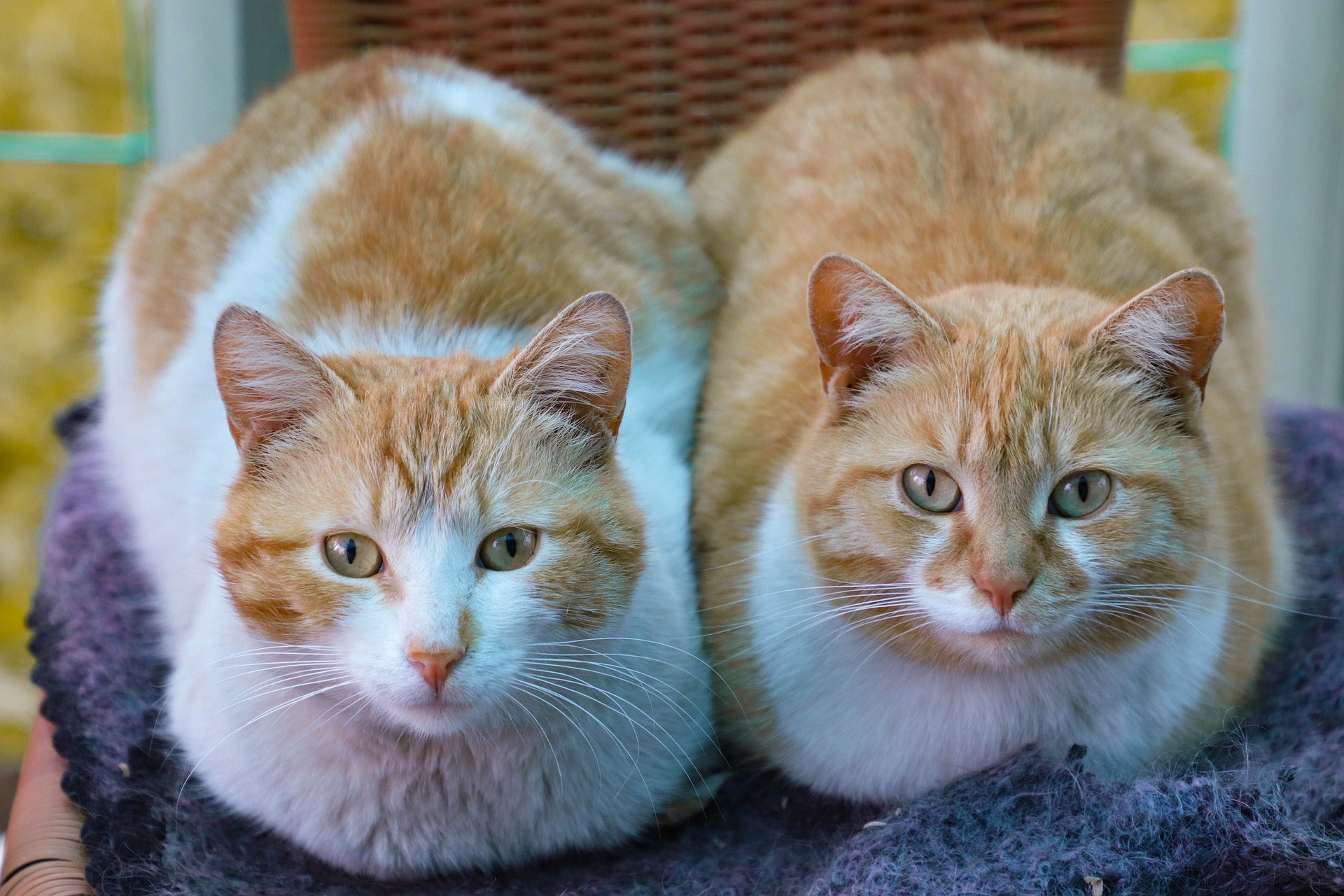 Male Vs Female Cat What Are The Differences Petozy