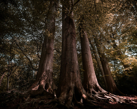 Picture of tall trees in a forest