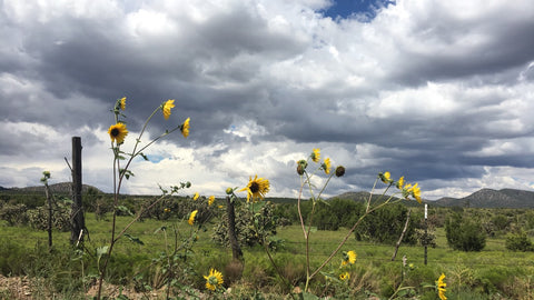 Roadside sunflowers in the New Mexican countryside
