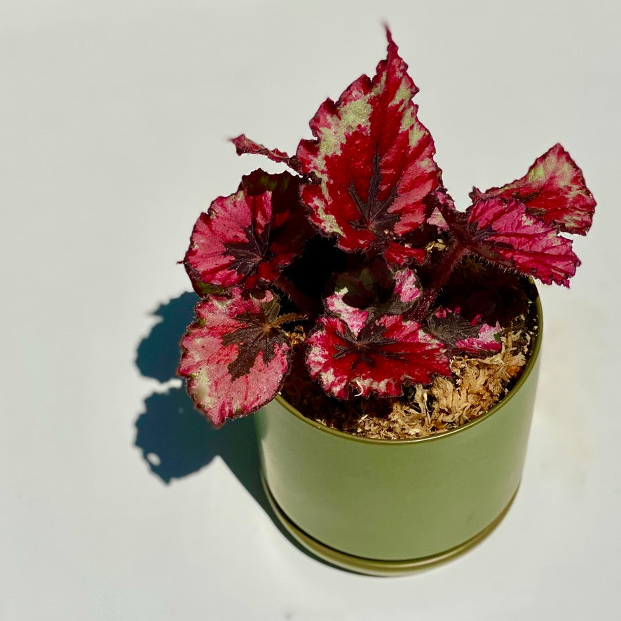 Plant of the Month - Begonia Rex