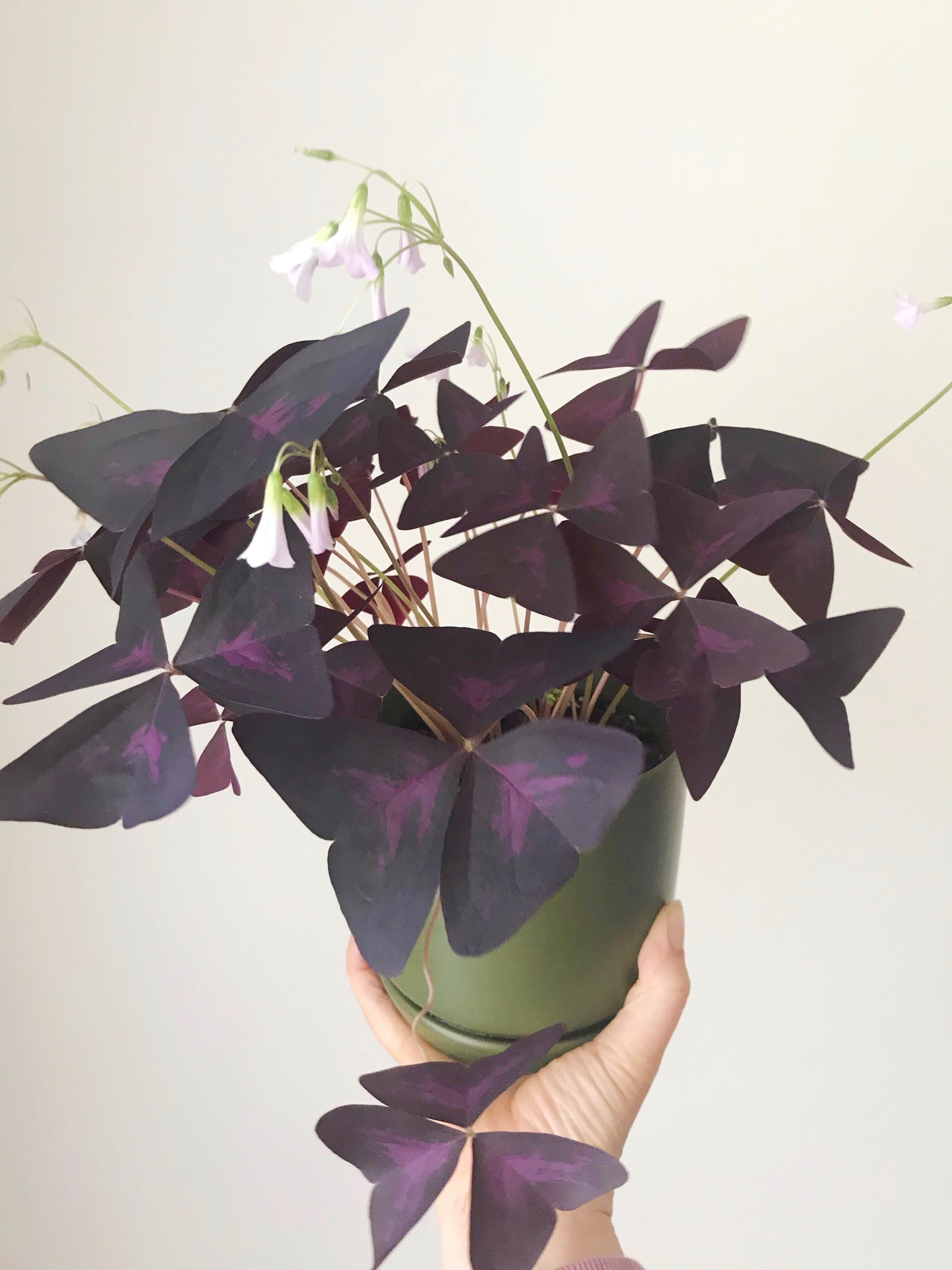Indoor Plant Of The Month - Oxalis triangularis
