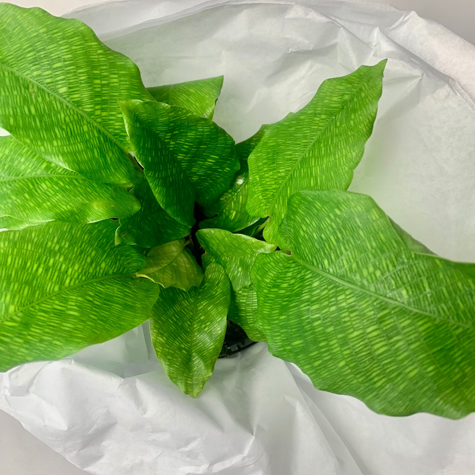 Plant of the Month - Calathea musaica