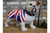 British Bulldog in view to show heroism