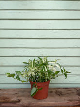 Load image into Gallery viewer, Tradescantia - White Cloud