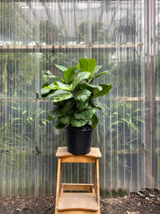 Fiddle Leaf Fig - Column