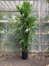 Load image into Gallery viewer, Bamboo Palm - Mickey Hargitay Plants