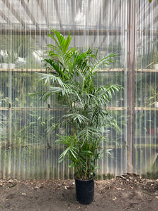 Bamboo Palm - Mickey Hargitay Plants