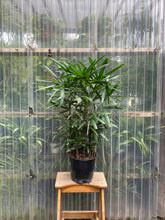 Load image into Gallery viewer, Rhapis Palm | Lady Palm - Mickey Hargitay Plants
