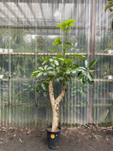 Load image into Gallery viewer, Schefflera Amate - Mickey Hargitay Plants