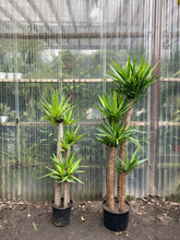 Load image into Gallery viewer, Yucca - Mickey Hargitay Plants