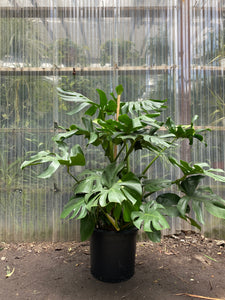 Monstera Deliciosa - Mickey Hargitay Plants