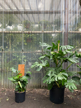 Load image into Gallery viewer, Monstera Deliciosa - Mickey Hargitay Plants