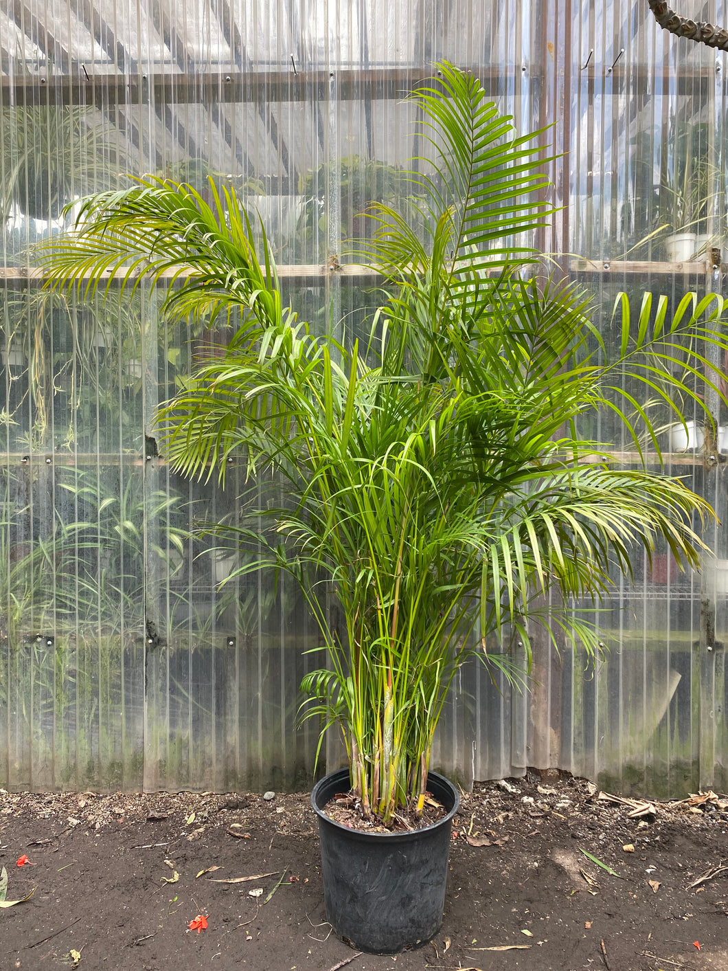 Areca Palm - Mickey Hargitay Plants