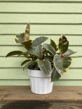 Load image into Gallery viewer, Ficus elastica - Tineke - Mickey Hargitay Plants