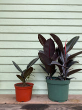 Load image into Gallery viewer, Ficus elastica - Burgundy