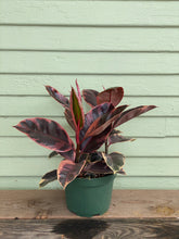 Load image into Gallery viewer, Ficus elastica - Ruby
