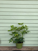 Load image into Gallery viewer, Schefflera arboricola - Variegated Yellow - Mickey Hargitay Plants