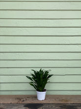 Load image into Gallery viewer, Dracaena compacta - Mickey Hargitay Plants