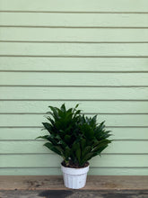 Load image into Gallery viewer, Dracaena compacta