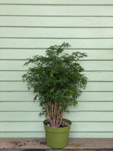 Load image into Gallery viewer, Aralia Ming - Mickey Hargitay Plants