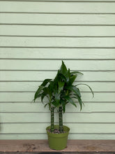 Load image into Gallery viewer, Dracaena Lisa - Mickey Hargitay Plants