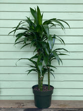 Load image into Gallery viewer, Dracaena Lisa