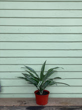 Load image into Gallery viewer, Dracaena warneckii - Mickey Hargitay Plants
