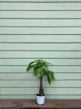 Load image into Gallery viewer, Money Tree Plant - Mickey Hargitay Plants