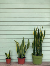 Load image into Gallery viewer, Sansevieria Laurentii