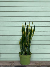 Load image into Gallery viewer, Sansevieria Laurentii - Mickey Hargitay Plants