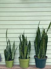 Load image into Gallery viewer, Sansevieria zeylanica - Mickey Hargitay Plants