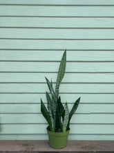 Load image into Gallery viewer, Sansevieria zeylanica