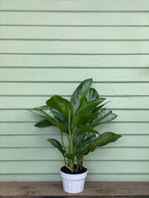 Load image into Gallery viewer, Chinese Evergreen - Silver Bay